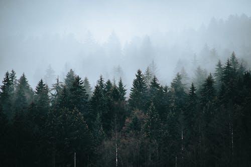 Хвойные леса под небом в туманный день