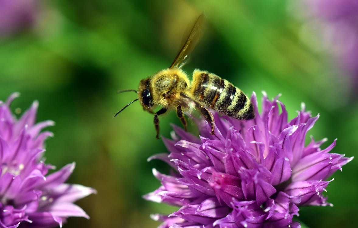Yellow Bee Perched on Purple Petaled Flower