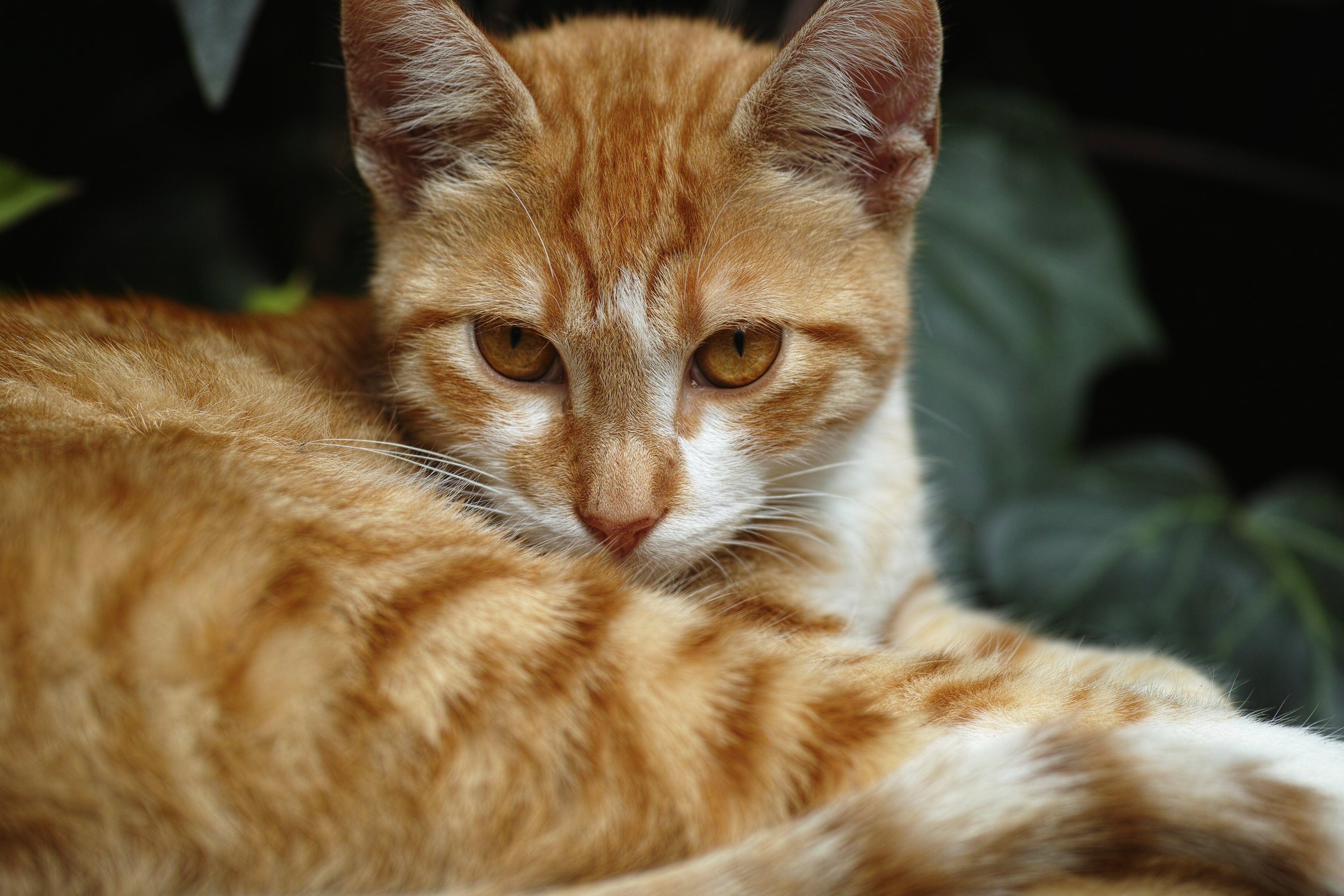 Free stock photo of animal, pet, cute, cat