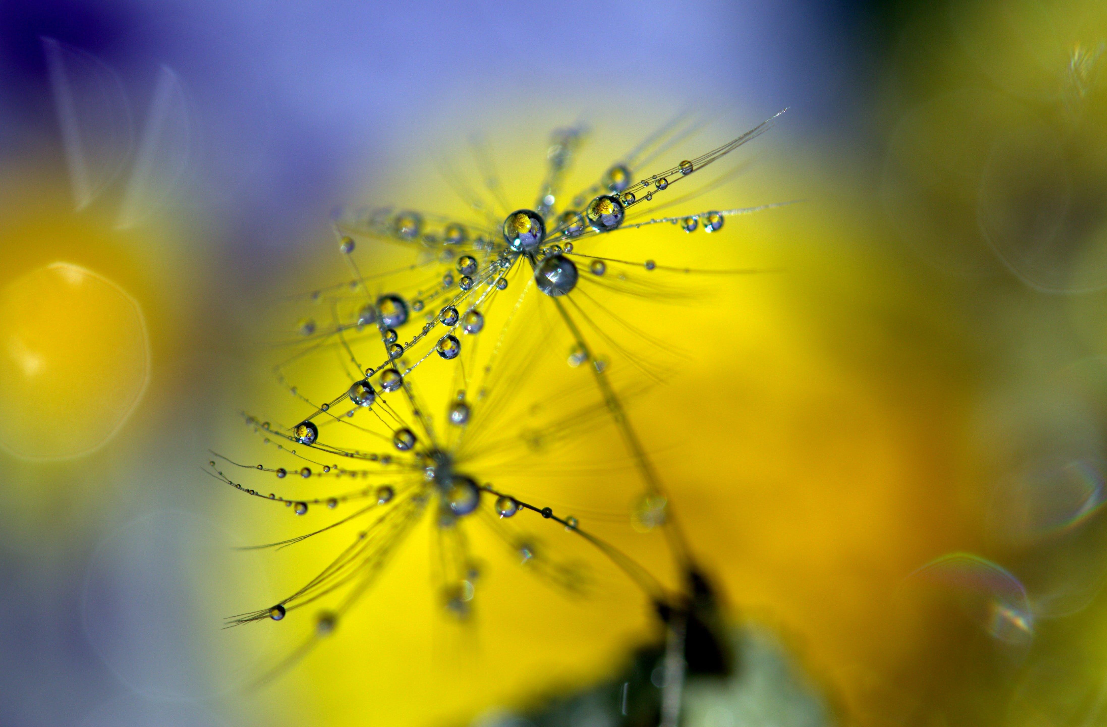 Selective Focus of Dandelion Flowers