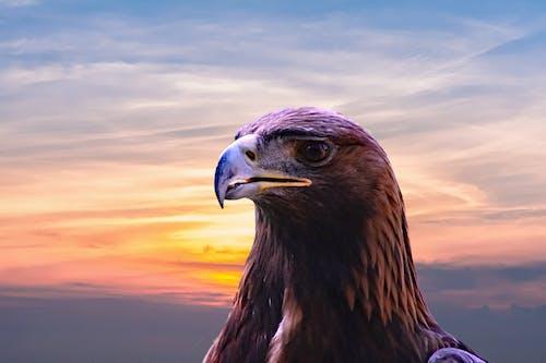 Foto d'estoc gratuïta de àguila, àguila calba, animal, caçador