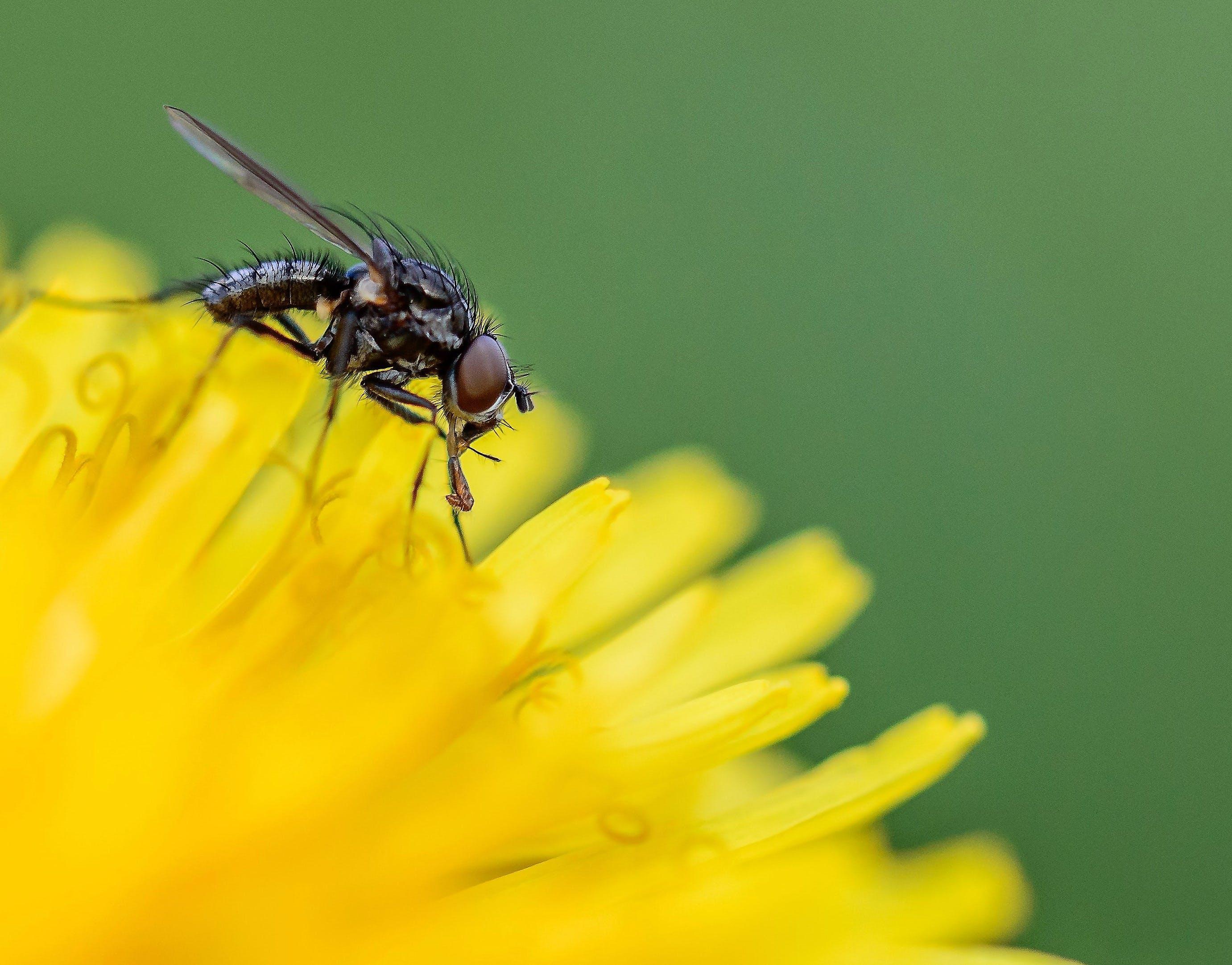 Fly on Yellow Dandelion Flower