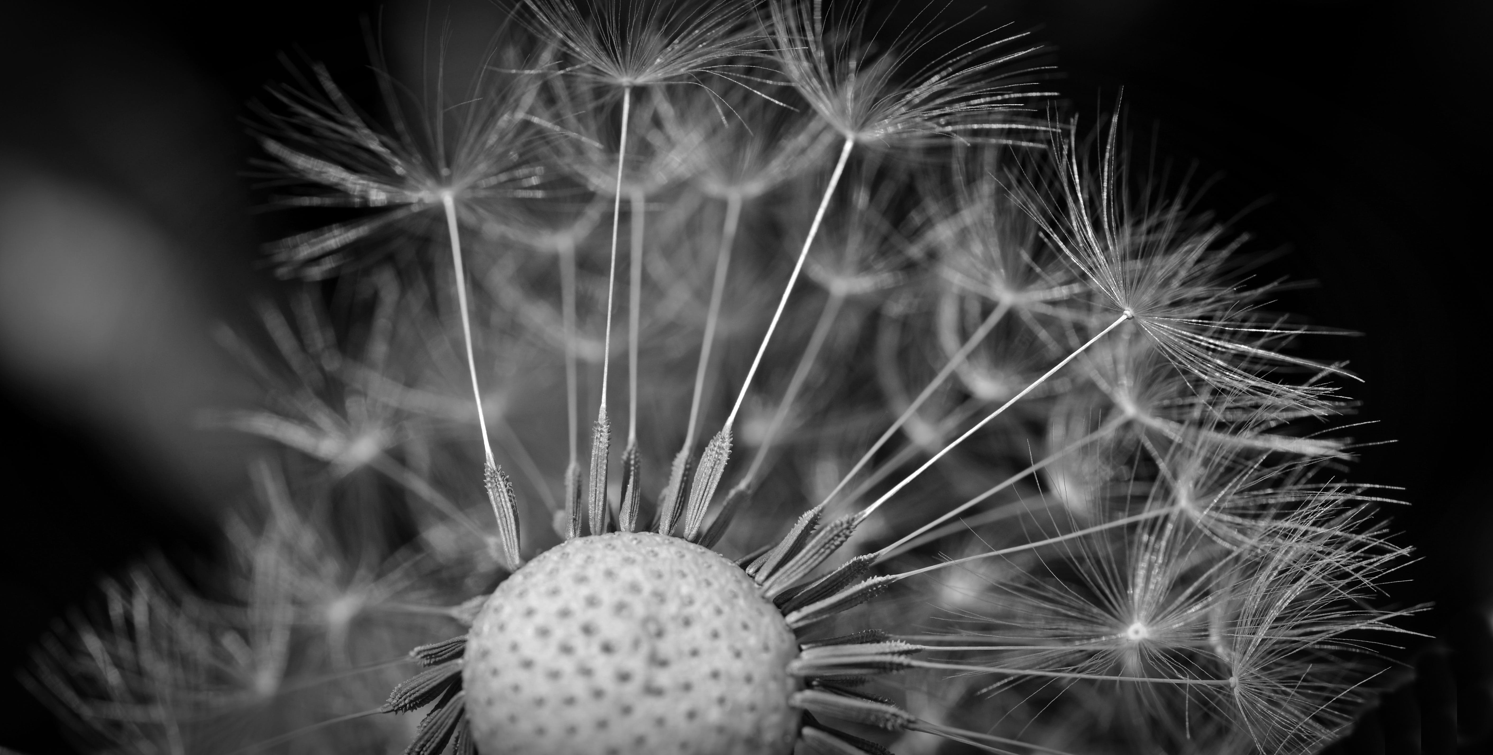 Grayscale Photography of Dandelion