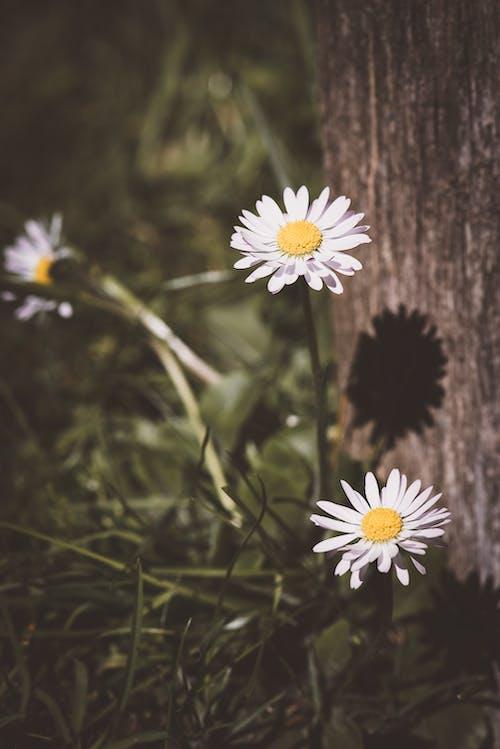 Ilmainen kuvapankkikuva tunnisteilla kamomilla, kasvikunta, kasvit, kasvu