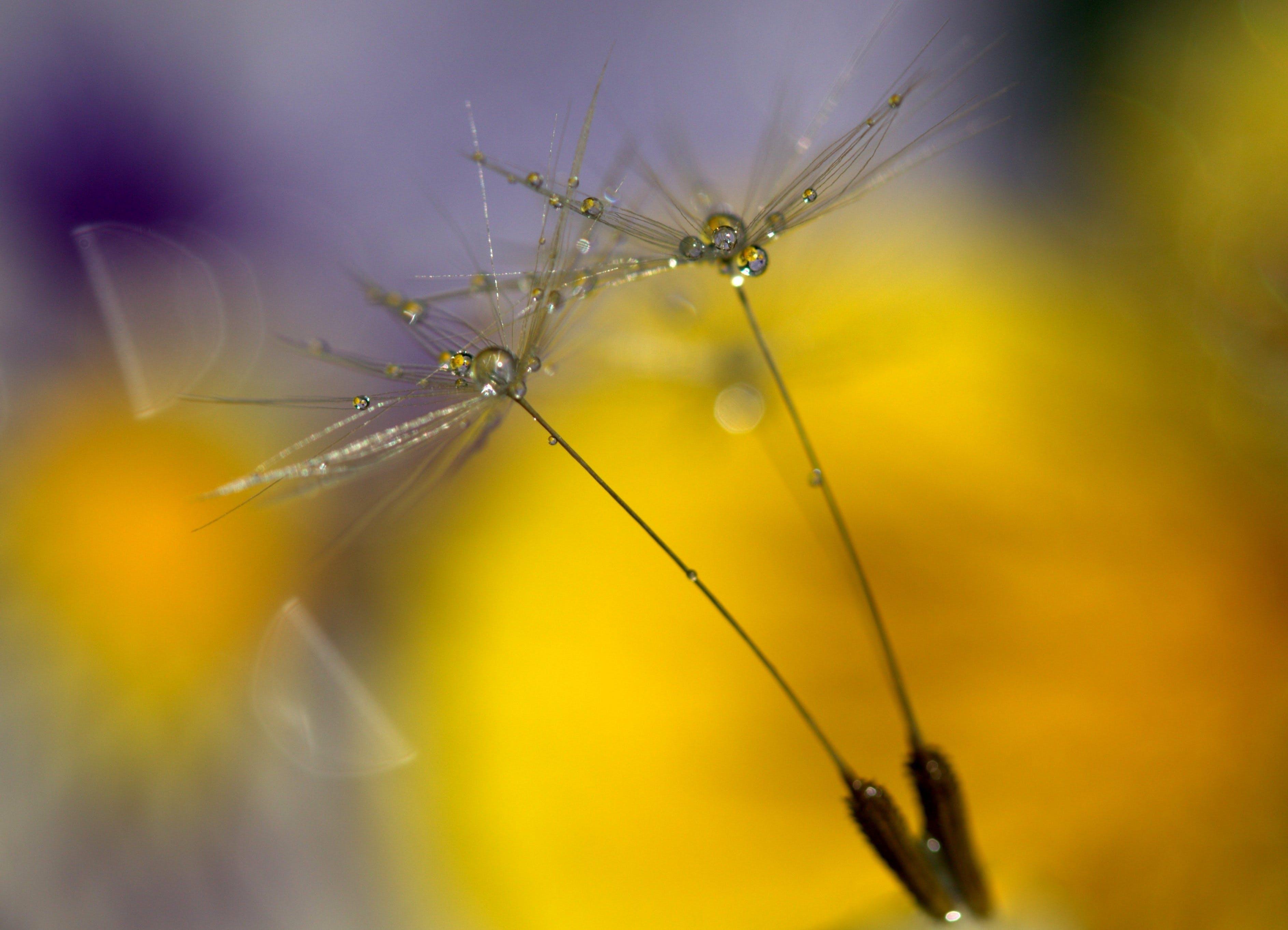 close-up, dandelion, delicate