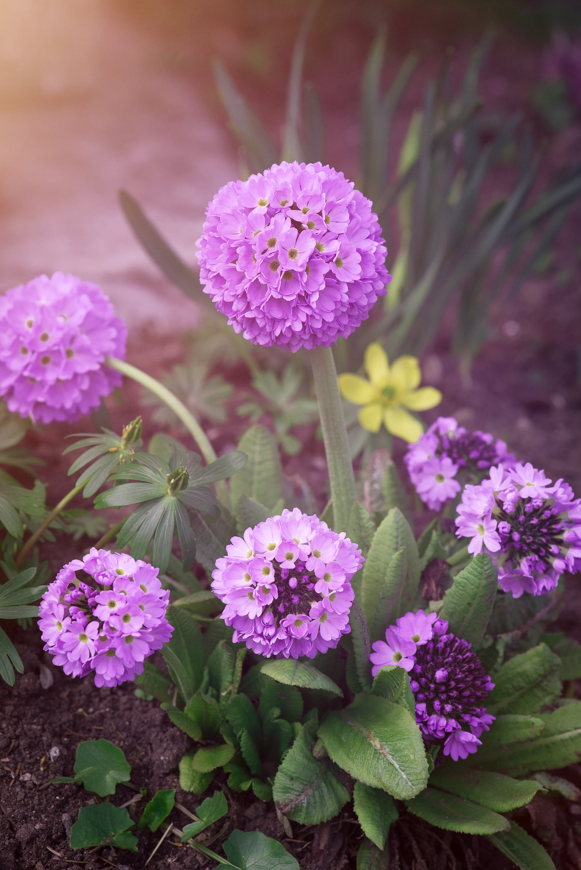 Free stock photo of ball-primrose, bloom, blossom, close