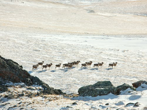 Herd of mountain goats walking on snowy terrain