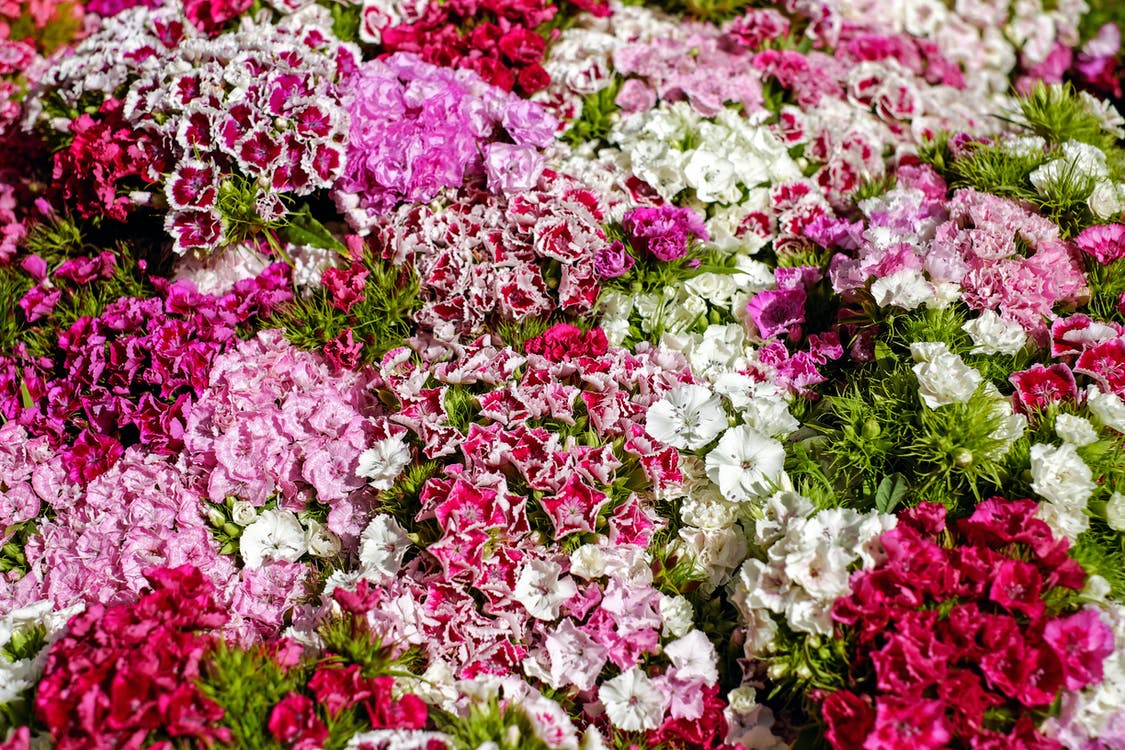 Bed of Pink and White Flowers