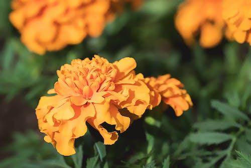 Foto stok gratis alam, berkembang, bunga marigold, bunga-bunga
