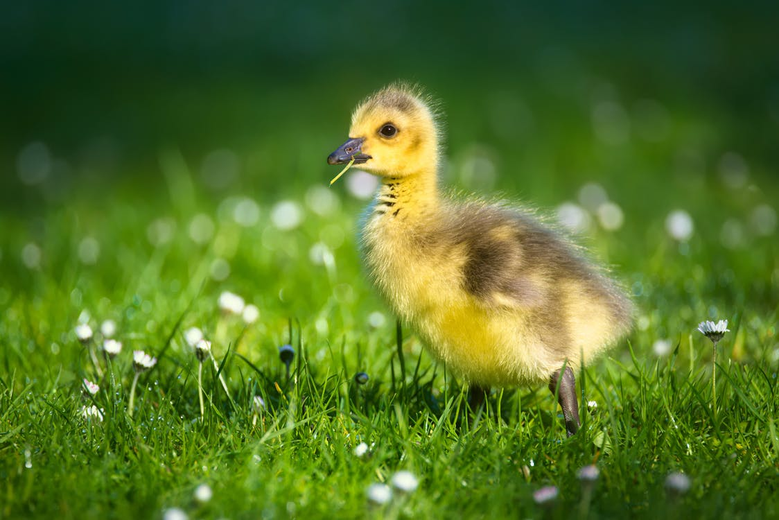 Yellow and Brown Duckling on Green Grass