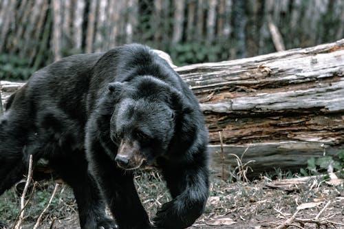 Kostnadsfri bild av äng, biologi, björn