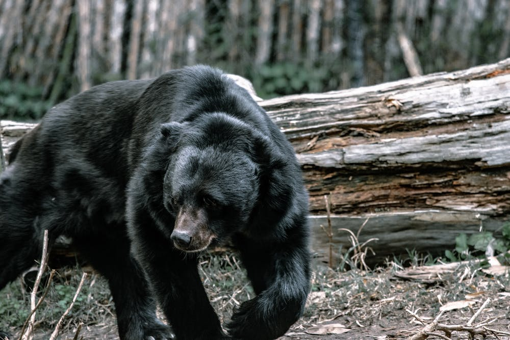A black bear walking in the forest. | Photo: Pexels