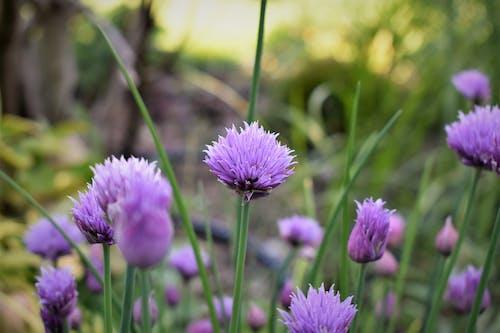 シーズン, チャイブ, ニラの花, フィールドの無料の写真素材