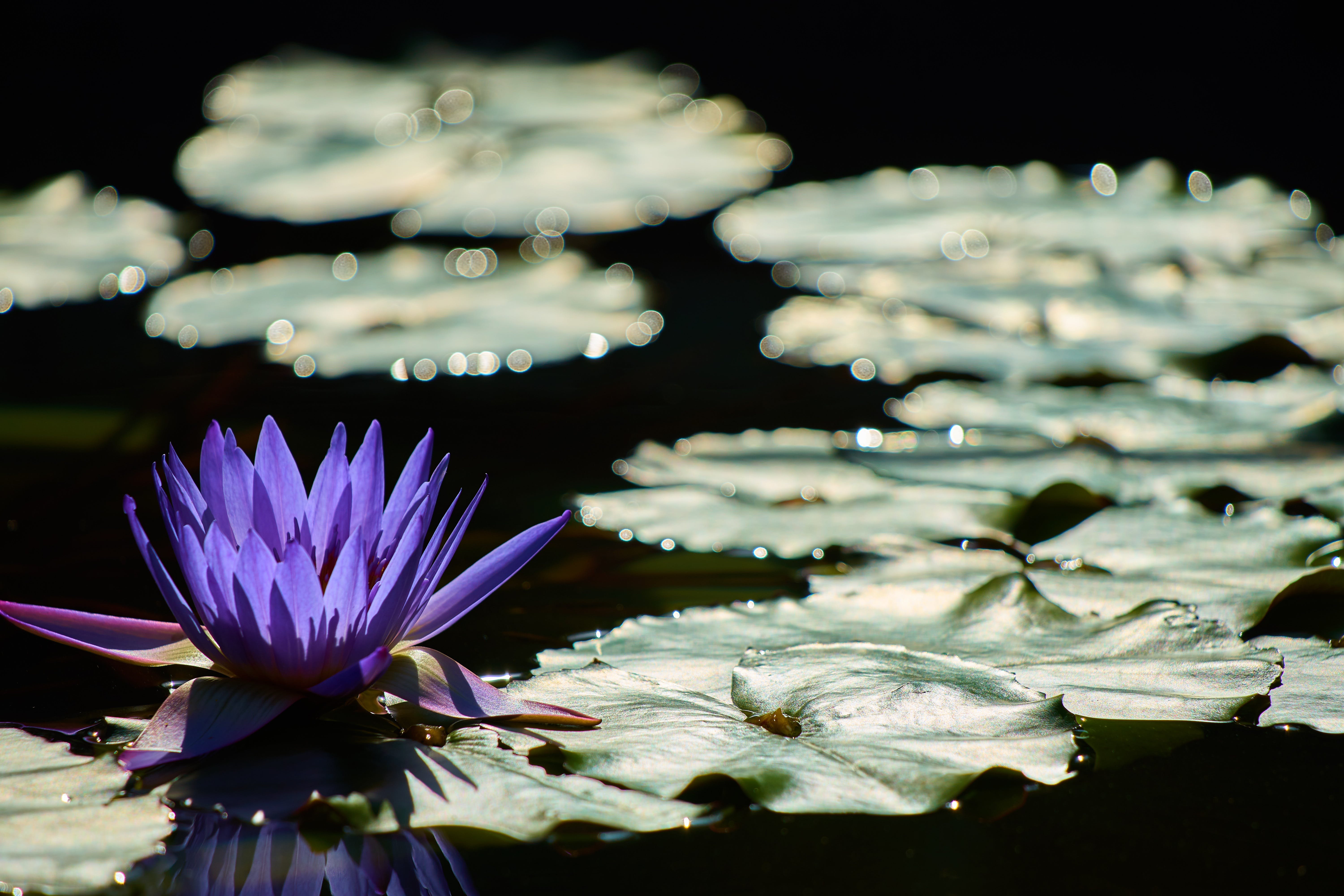 Free stock photo of light, plant, shadow, water lily