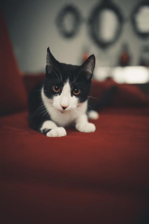 Black and White Cat on Red Textile
