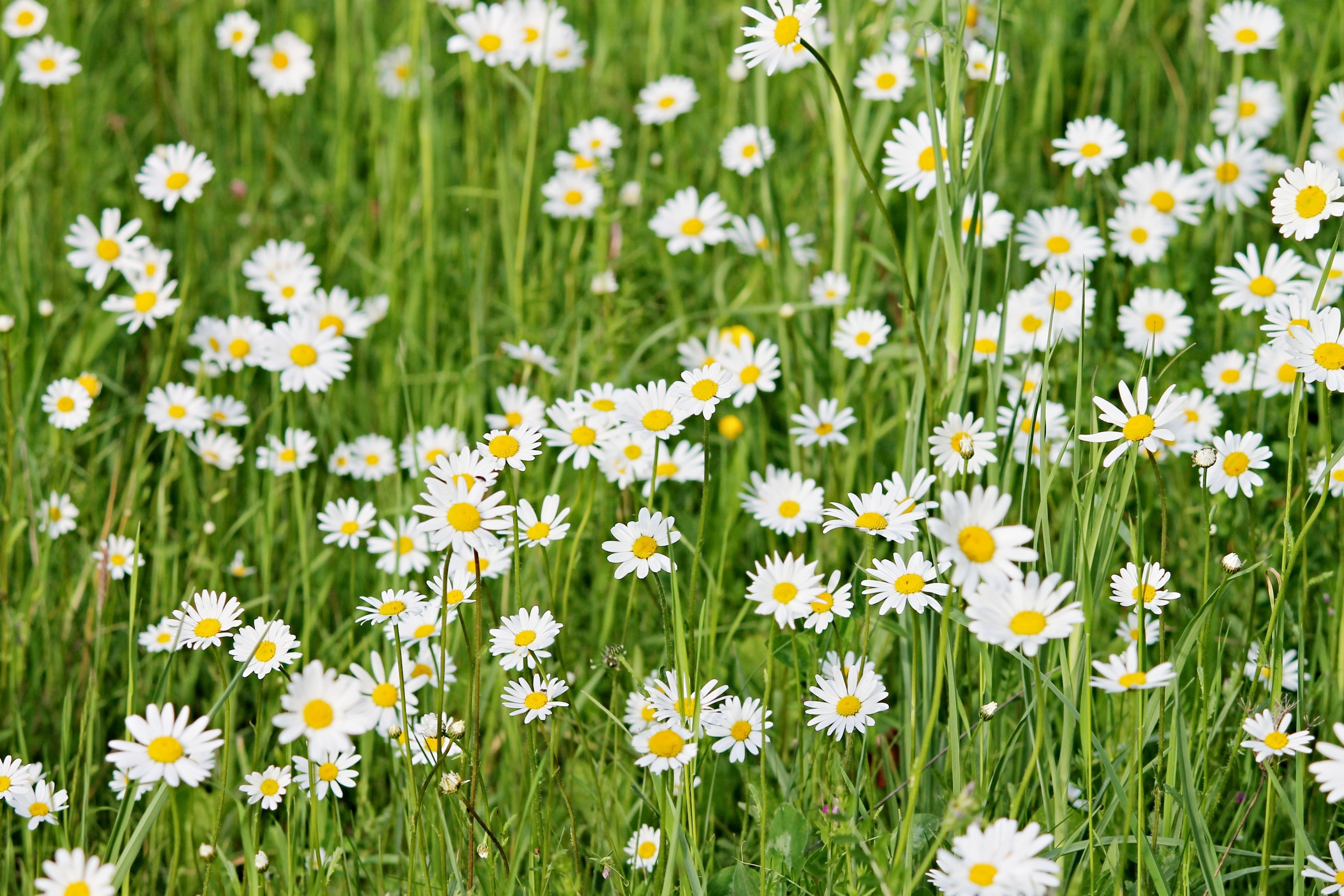 Free stock photo of nature, flowers, meadow, spring