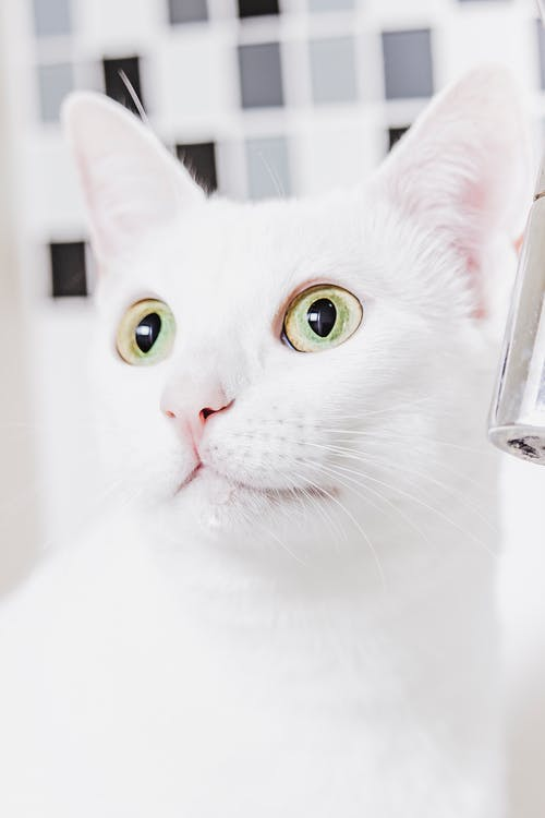 White Cat Looking at the Mirror