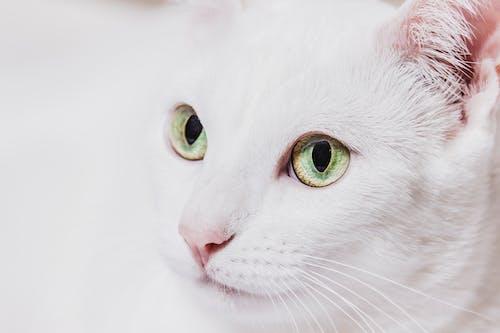 Free stock photo of branco, gatinho, GATOS, gatos domésticos