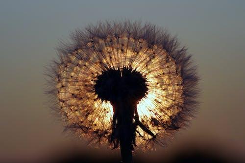 Ảnh lưu trữ miễn phí về ánh sáng, bồ công anh, cận cảnh, hệ thực vật