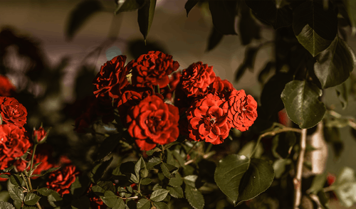 Free stock photo of flowers, nature, red flowers