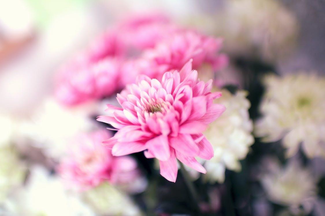 Selektiver Fokus Fotografie Der Rosa Chrysanthemenblume