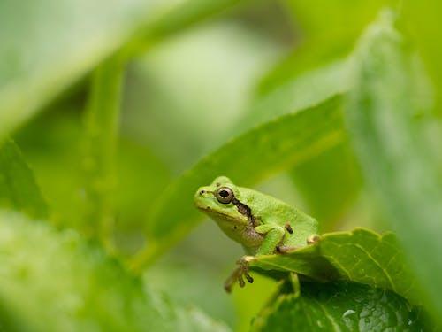 Green Hyla japonica frog on leaf