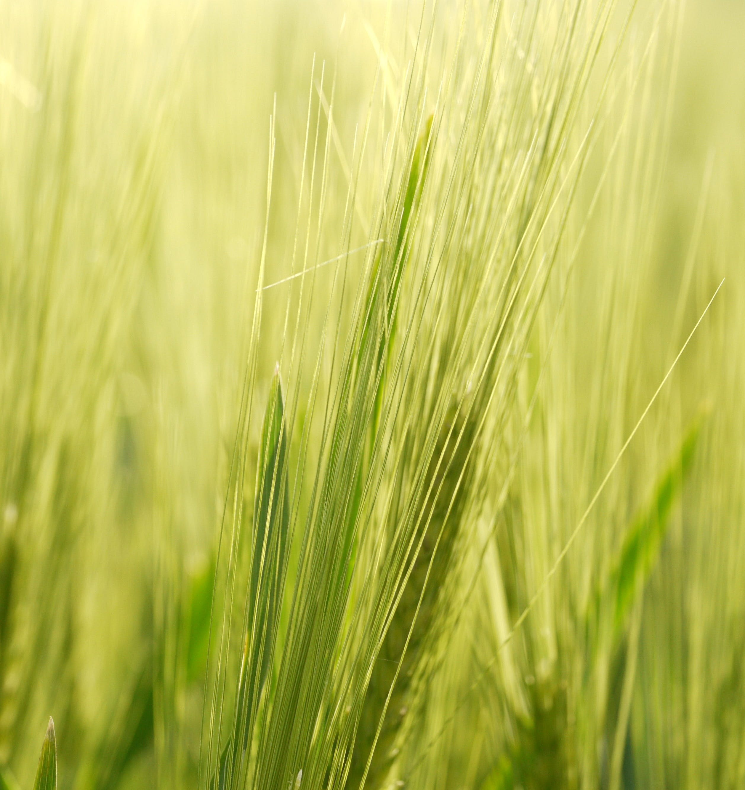 Free stock photo of field, cereals, grain, background