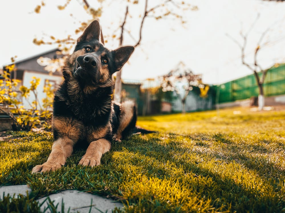 Low angle of adorable Old German Shepherd dog sitting on green lawn in yard on sunny day