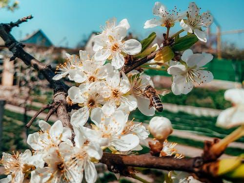 Bee on white flower of blooming Prunus cerasifera tree