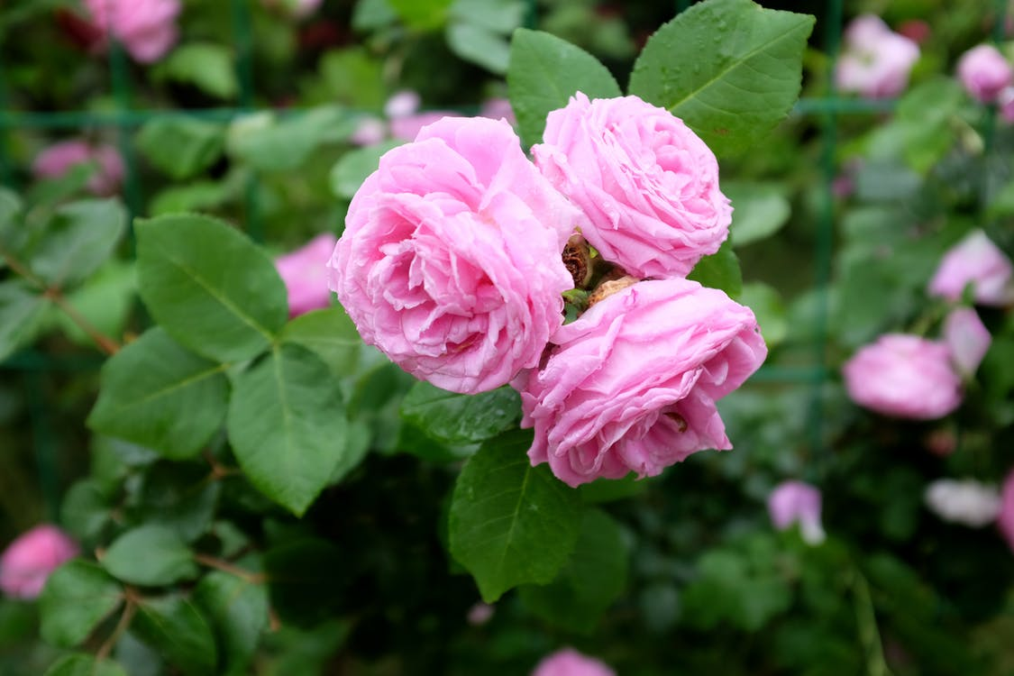 From above of pink roses growing on branches of shrub with green leaves