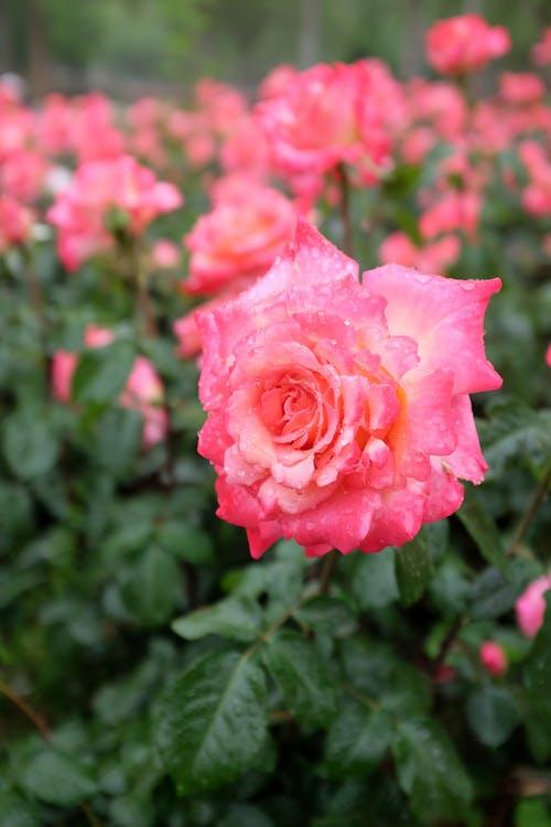 Bright roses growing in garden in summer