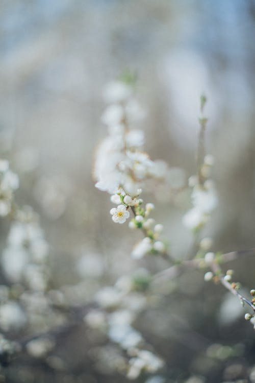 Branch with white flowers of tree
