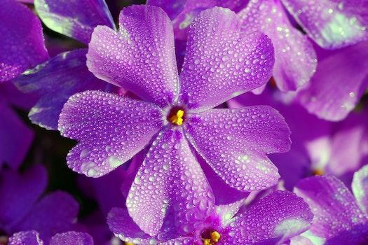 Free stock photo of nature, flowers, purple, petals