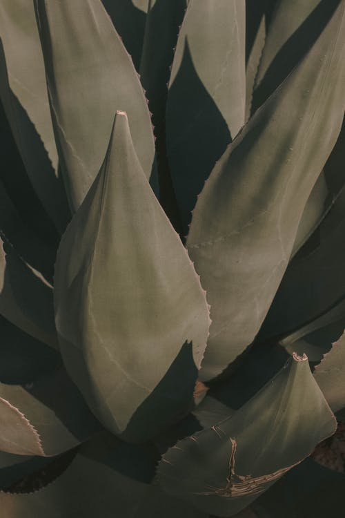 Close Up of an Agave Plant