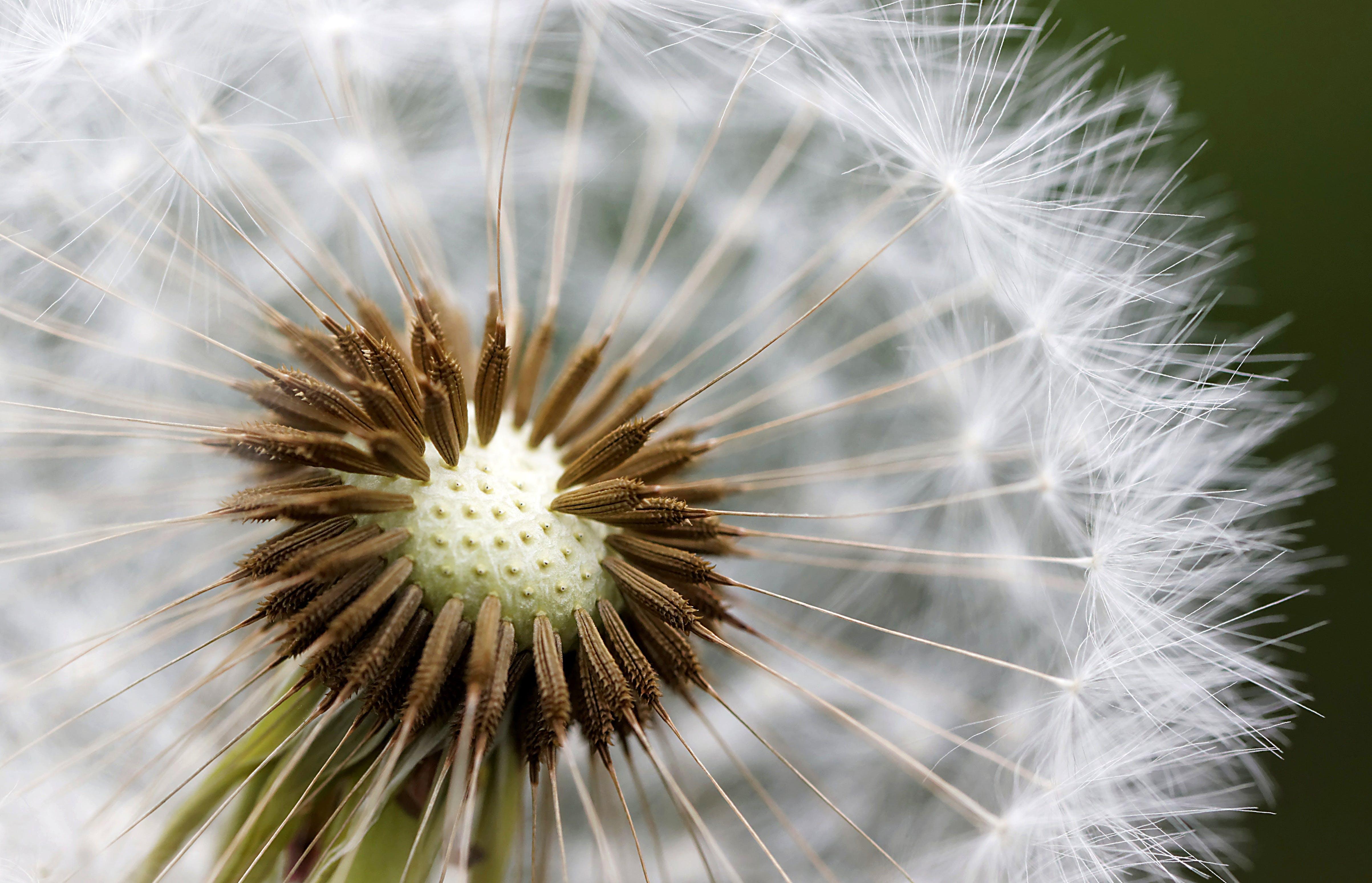 Macro Photography of White Dandelion