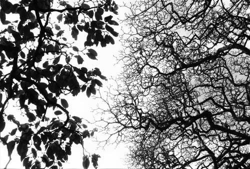 Бесплатное стоковое фото с белый, ветви, два дерева, дерево