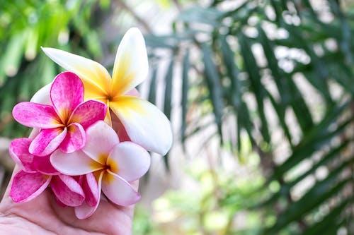 Gratis stockfoto met Bali, bloeien, bloeiend, bloemblaadje