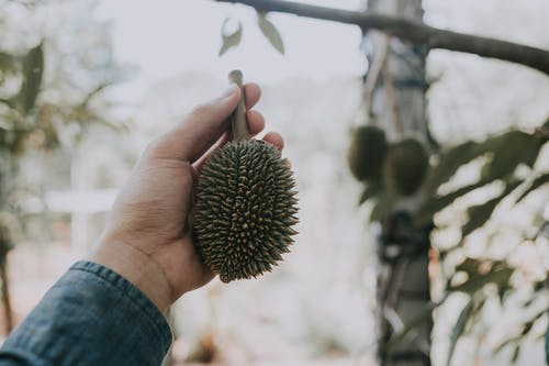 Low angle of crop anonymous male holding exotic durian fruit in hand against blurred tree with fruits in tropical garden