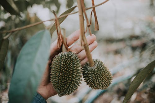 Man picking durian fruit from tree