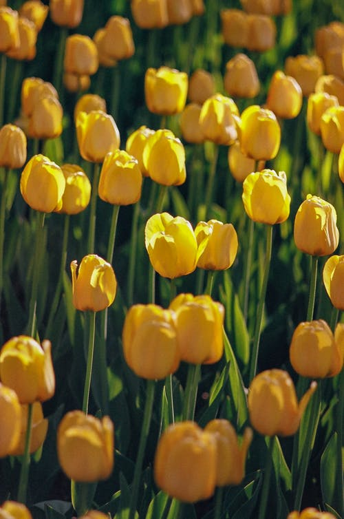 Bright natural background with blooming yellow tulip flowers growing in sunny spring field