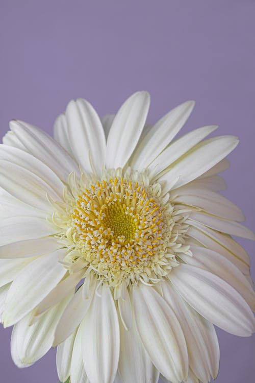 Delicate chamomile flower against lilac wall
