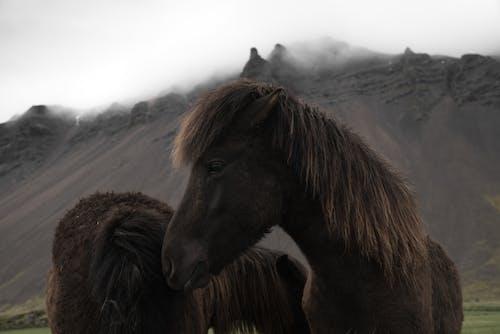 Icelandic bay horses grazing near mountains