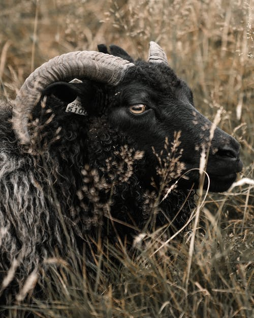 Black mouflon sheep with big curvy horns standing in tall dry grass in meadow