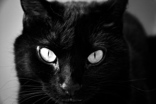 Free stock photo of black and white, black cat, cat