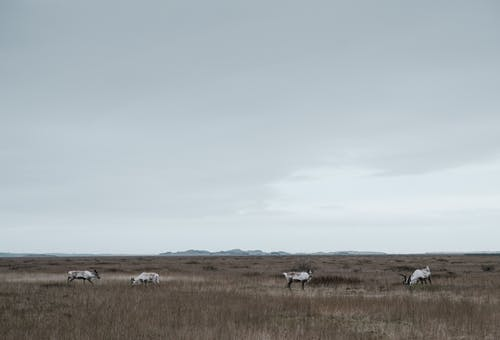 Wild reindeer in field on cloudy day