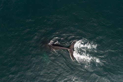 Aerial view of whale diving in ocean