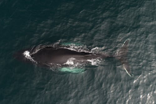 Aerial view of magnificent whale migrating to warmer waters in dark green peaceful ocean on sunny day