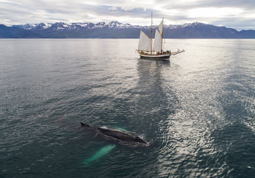 Humpback whale and sailboat in sea against snowy mountains