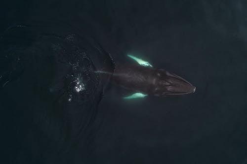 Humpback whale swimming in deep sea