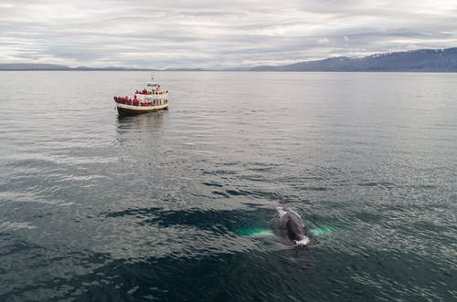 Traditional oak fishing boat with tourists floating in sea during whale watching tour in Iceland